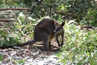 Wallaby on Phillip Island