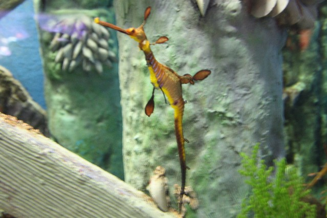 Weedy Seadragon from Australia's southern ocean